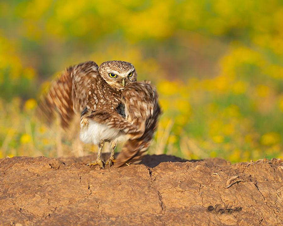Burrowing Owls Texas Panhandle