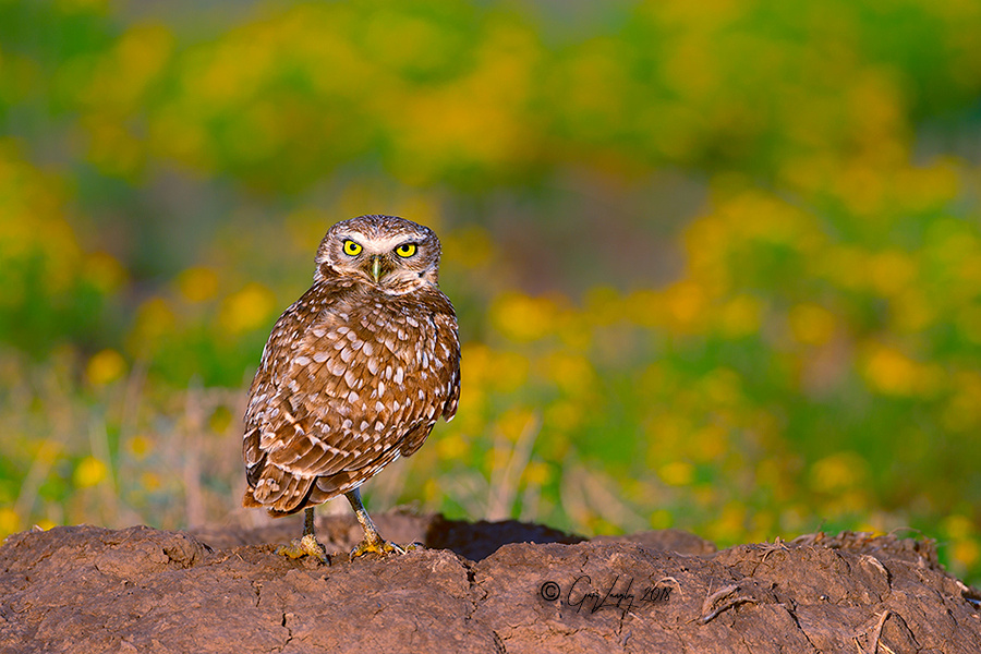 Burrowing Owls Texas Panhandle